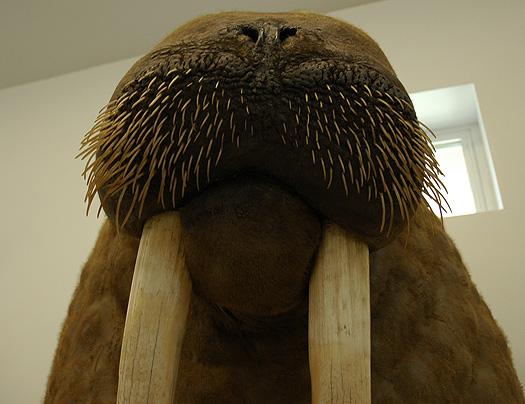 71407_walrus.jpg